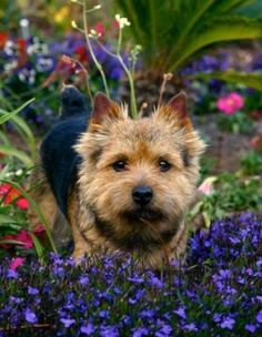 Norwich Terrier dog in a garden full of colorful springtime flowers in full-bloom.