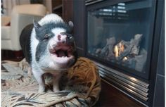 Online support grows for Sherwood Park pet pig in wake of court decision (with video) Sherwood Park, Pet Pigs, Online Support, French Bulldog, Canada, Pets, Animals, Animales, Animaux