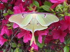 Actias Luna (aka Luna Moth or Luna Butterfly) is technically a Moth but is very Beautiful. She glows with the light of the Moon :-)