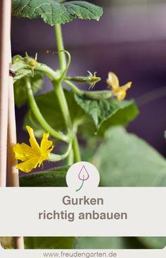 Gurken anbauen Cultivate, plant and care for cucumbers # Vegetable garden Vegetable Garden For Beginners, Plants, Cucumber Gardening, Pallets Garden, Gardening Blog, Gardening For Beginners, Container Gardening, Growing Cucumbers, Urban Garden