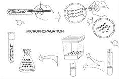 figure 1 diagram of micropropagation procedure