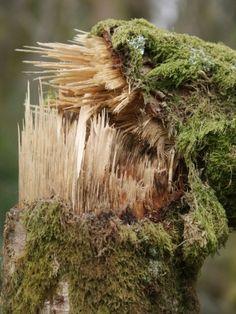 Branch broken by winter winds @ Duchess Wood, Helensburgh
