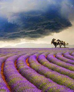 Beauty Of NatuRe: lavender fields, Valensole, Provence, France