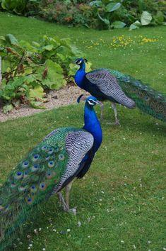 Blue peacock  in the garden