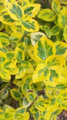 Evergreen Bittersweet  Euonymus fortunei Emerald 'n' Gold    A versatile, dwarf evergreen shrub with bright golden-yellow, variegated leaves that take on stunning shades of red and pink during the winter. 'Emerald n Gold' is the most popular variety of Euonymus with small, green flowers which are borne in clusters between May and June. It can be grown in a wide variety of different situations: as a low, informal hedge; as a specimen shrub; as a tough foundation plant or to incorporate into…