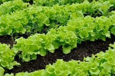 If you're new to gardening, you want to know what vegetables grow in shade. Other shade vegetables prefer partial sun. Planting Garlic, Planting Seeds, Organic Mulch, Organic Gardening, Shade Garden, Garden Plants, Fruit Garden, Hardening Off Seedlings, Lettuce Seeds