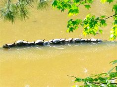 Turtles Tanning on a log, in Apex Park, NC.