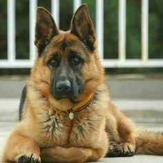 German shepherds are one of the most consistent dog breeds to make the American Kennel Club's yearly list of the most popular dogs. Types Of German Shepherd, German Sheperd Dogs, German Shepherd Memes, German Shepherd Pictures, German Dogs, German Shepherds, Shepherd Dogs, I Love Dogs, Cute Dogs