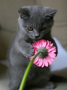 Funny Cat Videos, Funny Cats, Animals And Pets, Cute Animals, Cute Cats Photos, Kitten Care, Owning A Cat, Russian Blue, Blue Cats