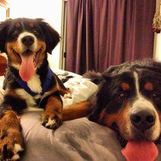 Bernese Mountain Dog best buddies!