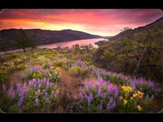 """""""Sunrise Show"""" McCall Preserve, Oregon. Spring Lupines and Balsamroot flowers compliment this vibrant sunrise overlooking the Columbia River in Oregon's Tom McCall nature preserve. Peaceful Places, Beautiful Places, Beautiful Scenery, Beautiful Sunset, Field Of Dreams, Columbia River Gorge, Amazing Nature, Nice View, Wild Flowers"""