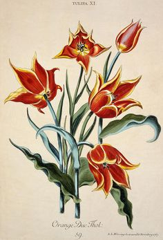 Orange Tulip, from 'Opera Botanica' by Conrad Gesner (1516-65) 1767 (colour engraving)