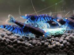 """Caridina cantonensis var. Blue Tiger, Crevette bleue. Comme toute crevette caridine, cette sélection de couleur Caridina cantonensis """"Blue Tiger"""" se distingue de ses congénères par sa couleur bleue intense, un coloris bleu profond. Le plus bel exemple consiste à montrer en photo cette Caridina Blue..."""