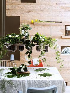 Stephanotis Thejoyofplants.co.uk
