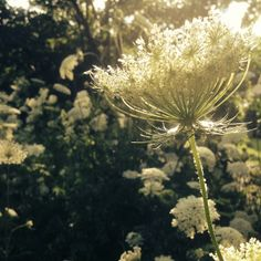 queen anne's lace + the golden hour