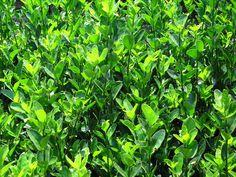 10 Best Plants For #Hedging