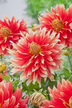 """Dahlia Bodacious - Decorative - 4' tall, 10"""" bloom. Big, bright and beautiful, this dahlia is an orange red with yellow showing on the edges and underneath of each petal."""