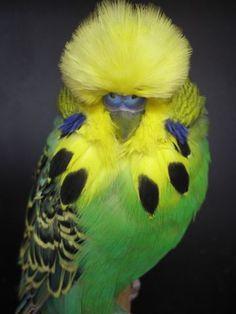 English Parakeet - Daniel Lütolf - Schauwellensittiche Wuerenlos