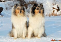 Reinrassige Hunde