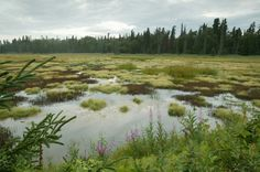 A bog is acidic and a fen is alkaline; a swamp has trees and woody plants and a marsh has other types of plants. United States Geological Survey, Kenai Peninsula, Paris Climate, Flood Zone, Types Of Plants, Geology, Kayaking, Alaska, National Parks