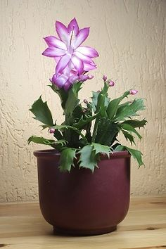 Lavender Christmas Cactus