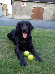flat coated retriever puppies | Bristol, Bristol | Pets4Homes