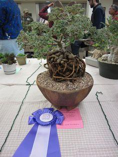 Pelargonium sidoides as Bonsai.