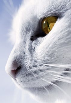 White Cat with Yellow Eyes - Vilhaj Almsson