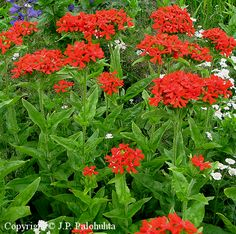 Lychnis chalcedonica, palavarakkaus Herbs, Plants, Herb, Planters, Plant, Spice, Planting