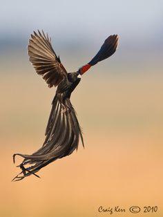 long tail widow bird | Long-tailed Widow Bird - OutdoorPhoto Gallery