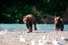Photo of Grizzly Bears, Chugach National Forest