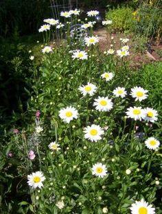 Shasta Daisy (photo by Dolores Monet) Full Sun Perennials, Flowers Perennials, Shasta Daisies, Hedges, Landscape Design, Daisy, Bloom, Monet, Plants