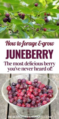Whether you call it juneberry serviceberry or saskatoon this delicious purple fruit is a wonderful treat to grow or forage How to find this yummy berry and what to do with it growingfruit foraging fruit superfoods Fruit Garden, Edible Garden, Vegetable Garden, Permaculture, Fruit Bushes, Purple Fruit, Growing Fruit Trees, Edible Wild Plants, Wild Edibles