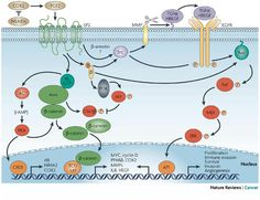 A schematic illustration shows a G-protein-coupled receptor (GPCR ...