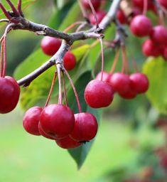 Malus 'Red Sentinel'. Cherry-red crab apples  #westdeangardens Crab Apples, Cherry Red, Dean, Autumn, Fruit, Garden, Garten, Fall Season, Lawn And Garden