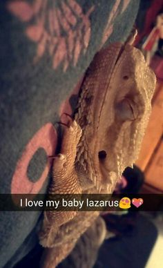 Lazarus Q Causey 10 month old  Bearded Dragon