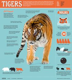 Awesome Infographic for World Cat Day: All About Tigers The tiger (Panthera tigris) is the largest member of the Felidae family. Best known for its striking reddish-orange coat covered with dark stripes, the big cat shows up in mythology and folklore, on Animal Facts, Cat Facts, Panthera Tigris Altaica, All About Tigers, Facts About Tigers, World Cat Day, Tiger Pictures, Fauna, Big Cats