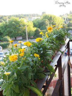 Balkonowy ogródek. Niestety teraz jest już tylko wspomnieniem, ponieważ moje ukochane nagietki zjadły mszyce :(