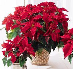 Цветок Пуансеттия или Рождественская звезда - как ухаживать в домашних условиях http://www.myflora.com.ua/index.php?option=com_content&task=view&id=787&Itemid=133