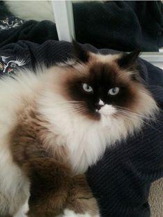 Smudge Cat | Pawshake
