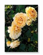 Gardening Tips for Antique Roses- pruning, feeding, making a hedge, training, pegging, and making cuttings