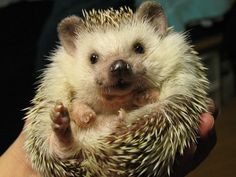 Hedgies will cure all of your Monday blues.