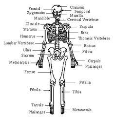 human 3d skeletal system diagram - pictures of the skeleton system, Skeleton