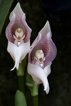 Orchid Flowers. Praying Angels, amazingly intricate internal morphology