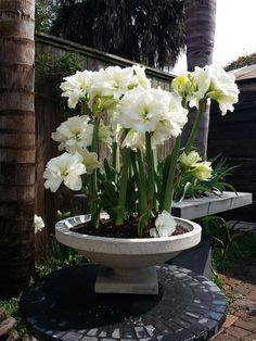 The Frank Lloyd Wright Dana House Vase is an excellent concrete container that showcases your favorite spring flowers with a flare. This small limestone Dana House planters holds eight large amaryllises. [ TheGardenFountainStore.com ] Garden Urns, Concrete Garden, Frank Lloyd Wright, Spring Flowers, Flare, Planters, Container, House, Home