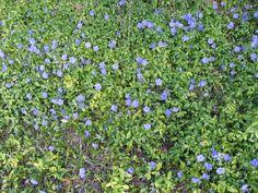 Pikkutalvio vähän kärsineenä Herbs, A3, Plants, Herb, Plant, Planets, Medicinal Plants