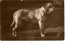 Old Real Photo Postcard of Bull Mastiff Dog