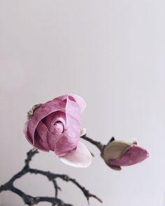 soon blooming ✤ #magnolia