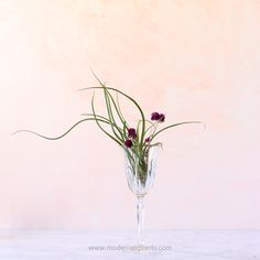 Caput medusae amaranth in wineglass