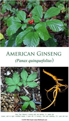 'American Ginseng ' Poster by wildozark Graphic T Shirts, Growing Ginseng, Ginseng Plant, Perfume Good Girl, Wild Edibles, Companion Planting, Red Berries, Raised Garden Beds, American